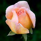Pink Rose by Janine  Hewlett