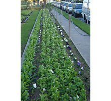 Pansies, Posts and Parked Cars Photographic Print