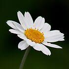 White Oxeye Daisy by AnnDixon