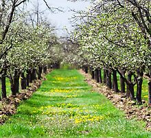 Orchard of plum trees by naturalis