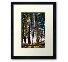 Sunlight Through The Pines Framed Print