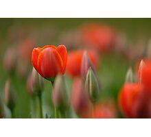 Dreamy tulips Photographic Print