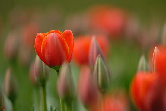 Dreamy tulips by Mirka Rueda Rodriguez
