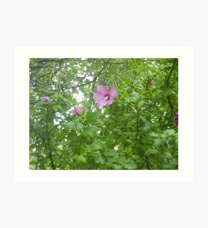 Rose of Sharon Blooms  Art Print
