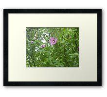 Rose of Sharon Blooms  Framed Print