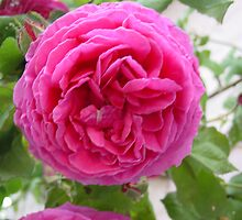 Gertrude Jekyll iii by Richard Elston