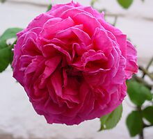 Gertrude Jekyll iv by Richard Elston