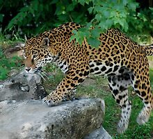 Stalking Jaguar by Jim Caldwell