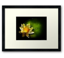 Nymphaea  Chromatella - Yellow Lilly Framed Print