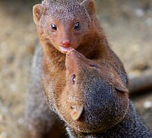 Mongoose wrestling.......   by jdmphotography