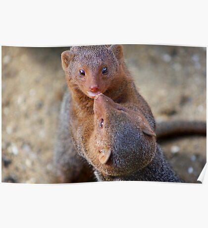 Mongoose wrestling.......   Poster