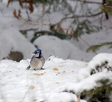 Hungry Winter Blue Jay  by Jamie Cameron