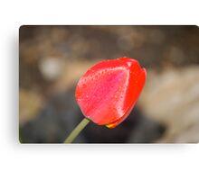 Front Yard Tulip Canvas Print