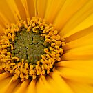 Yellow Daisy by Mirka Rueda Rodriguez