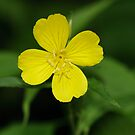 Carolina Primrose-Willow by Gary L   Suddath