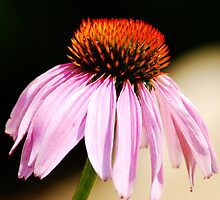 Purple Cone Flower by trwphotography