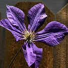 Clematis by Kimberly Palmer