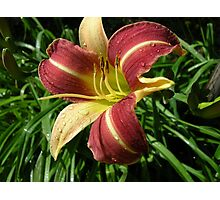 Hemerocallis after the storm Photographic Print