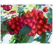 Fresh B.C. Cherries Poster