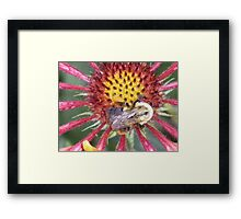 Indian Blanket Macro with bumble bee photo art print Framed Print