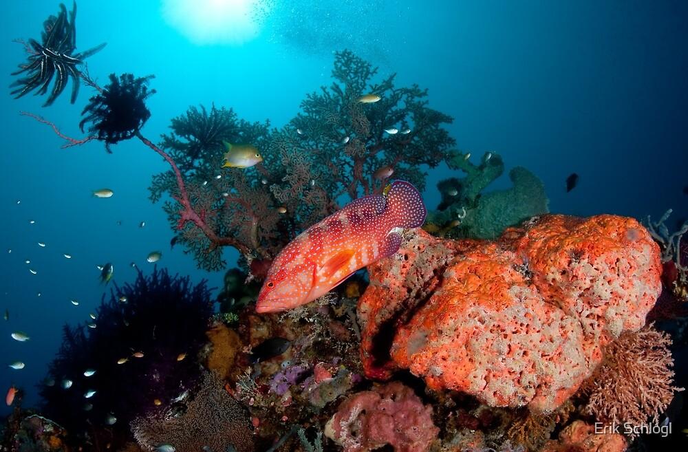 Coral Cod patrolling the reef by Erik Schlogl