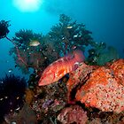 Coral Cod patrolling the reef by Erik Schlogl