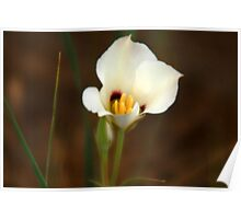 Sego Lily - Utah State Flower Poster