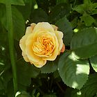 yellow rose by Emma Coughlan