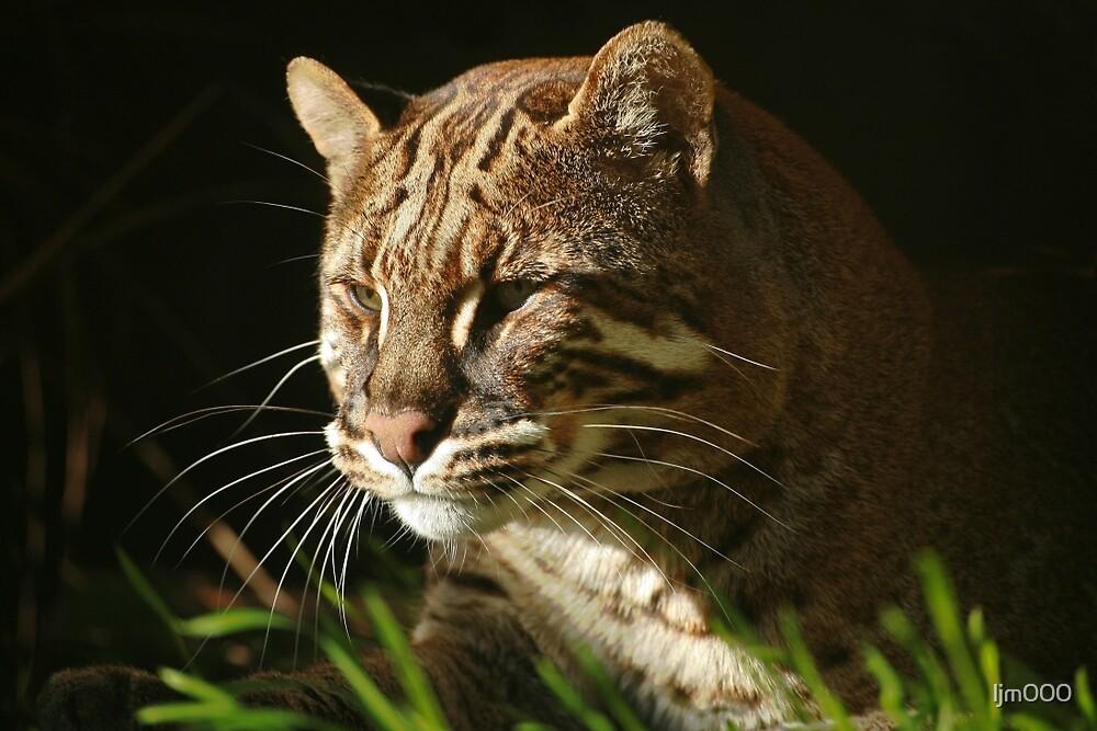 Asiatic Golden Cat by ljm000