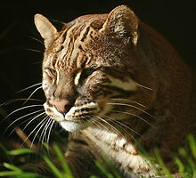 Asiatic Golden Cat by ljm000