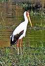 Yellow-Billed Stork by Graeme  Hyde