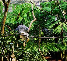 Sleeping Koala by reflector