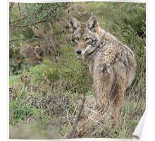 Wandering coyote Poster