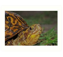 Florida Box Turtle Art Print