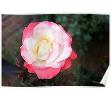 A Rose That Asks ~ What Color Am I? Poster