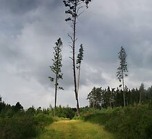 Pines (My forest) by Antanas