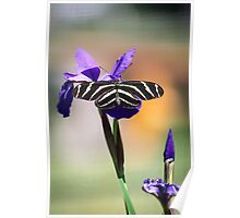 Zebra Longwing on Iris  Poster
