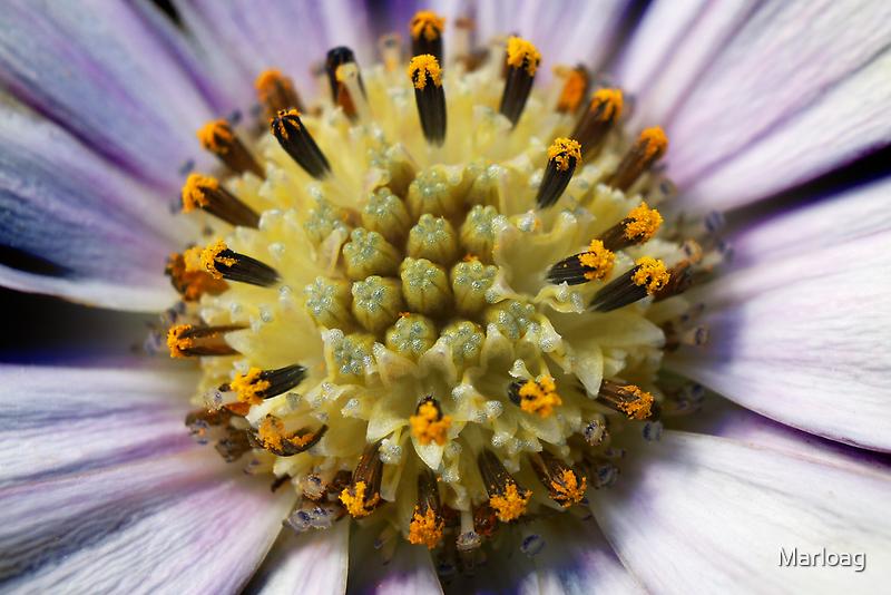 Osteospurmum by Marloag