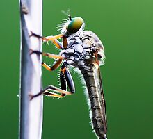 Robber Fly by Benjamin Young