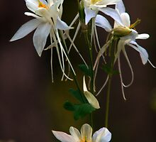 Wild Columbine Cluster by Ryan Houston