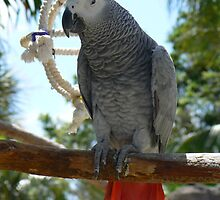 Grey Parrot by caymanlogic