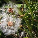 Seeds about to blow away Diamond Creek Track 201412021161 by Fred Mitchell