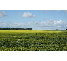 Field of Yellow Photographic Print