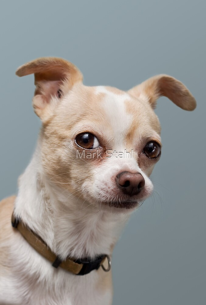 Curious Chihuahua by Mark Stahl