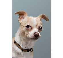 Curious Chihuahua Photographic Print