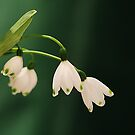 snowdrops by picketty