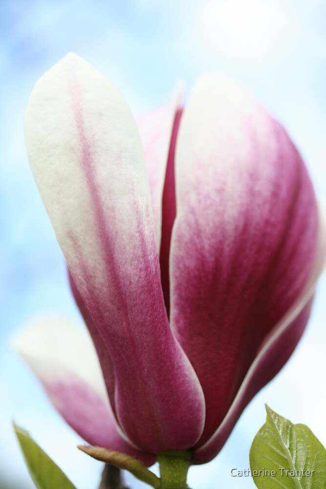Magnolia by Catherine Tranter