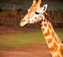 Giraffe at Monarto Zoo by Elana Bailey
