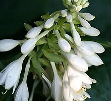 Hosta by Deborah  Benoit