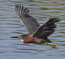 Green Heron In Flight by tomryan